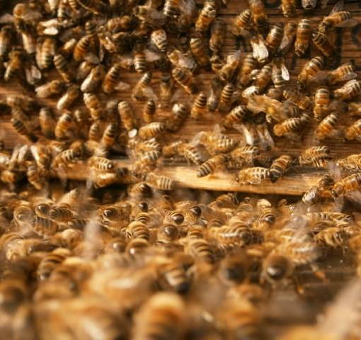 Ein starker Bienenschwarm zieht zufrieden und feierlich in seine neue Behausung ein.