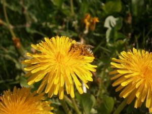 BLÜTENPOLLEN AUS DEUTSCHLAND Eine mit gelben Blütenstaub über und über bepuderte pollensammelnde Honigbiene versinkt in einer Löwenzahnblüte wärend Sie bedächtig den Nektar mit dem Rüssel aufsaugt.