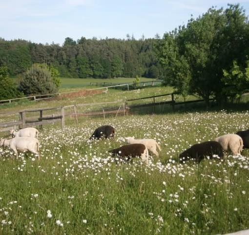 IMKER PROPOLIS TROPFEN Eine Schafherde grast friedlich mit ihren Lämmern auf der Weide auf dem Imker Hof.