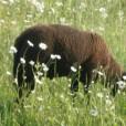 REINER BIENENHONIG Schafe