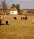 Schafe, Weideschafe, Oberlauterbach