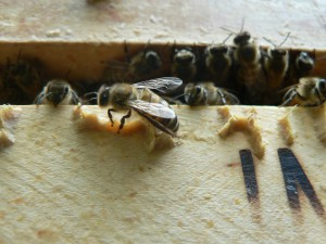 Eine kleine Biene, die doch so unendlich viel leistet.