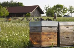 Kleinbäuerliche Bienenhaltung: Honigbienen und Schafe