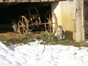 Zwei getigerte Kater im Schnee sitzen unterm Stall und wärmen sich in der schräg einfallenden Wintersonne. Zwischen den beiden steht ein alter rostiger Handpflug.