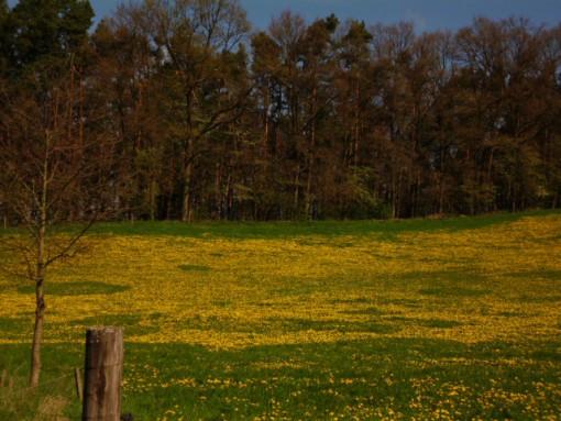 Hügellandschaft in der Holledau, im Vordergrund eine mit Löwenzahn blühende Viehweide, dahinter ein Naturwald.