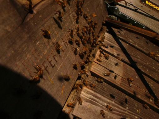 """Bienenkasten aus Holz mit extralangem Flugbrett aus Lärchenholz und starkem Flugbetrieb und Belauf von orangefarbenen, dunkelgoldenen Bienen. Auf der Beutenfront ist der Brennstempel """"Imkerei Oswald Pfeffenhausen"""" zu erkennen."""