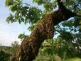 Warum schwärmen die Bienen?