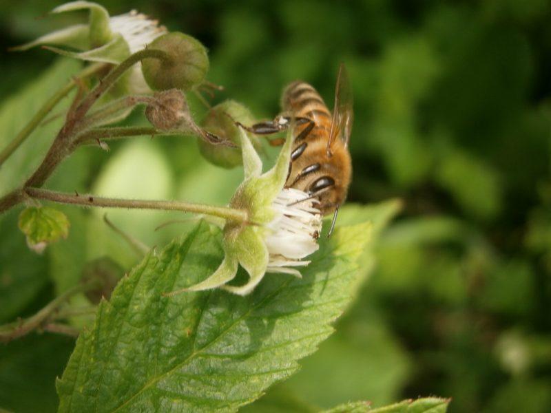Backhonig vom Imker; Entstehung von Honig; Biene auf Himbeerblüte.