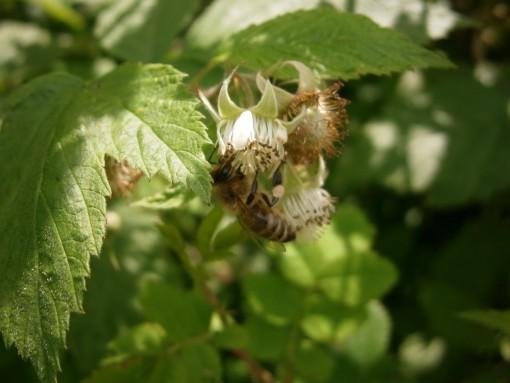 Pollensammelnde Biene mit kleinem runden Pollen am hinteren Beinpaar.