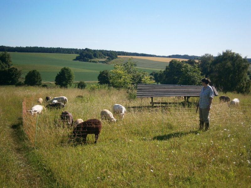 Gutsschäferei auf den Ökoflächen vom Bienenhof der Imkerfamilie Oswald in Oberlauterbach. Juni 2016.