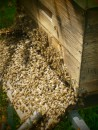 Natürliche, wesensgemäße Bienenzucht in Einraumbeuten.