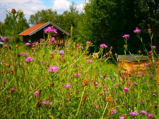 Wiesen-Flockenblumenwiese im Bienengarten der Bio-Honig Imkerei Oswald.