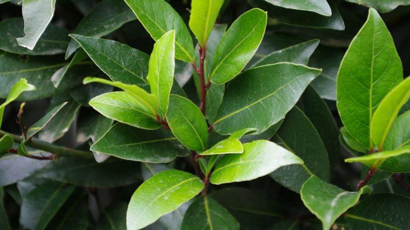 Die dunkelgrün glänzenden Blätter des Lorbeerstrauchs.