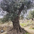 antiker-olivenbaum-in-hebron-israel