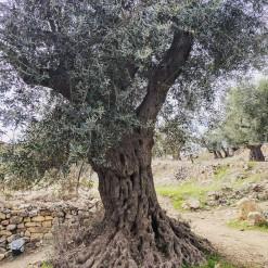 Ein sehr alter, antiker Olivenbaum in Hebron, Israel.