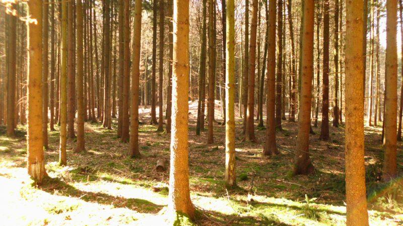 Eine keltische Wallanlage im Wald.