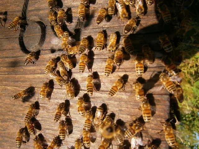 Die Bienen, unsere gestreiften kleinen Freunde.