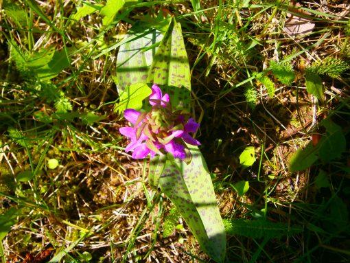Seltene Orchideenart, welche in Deutschland wächst.
