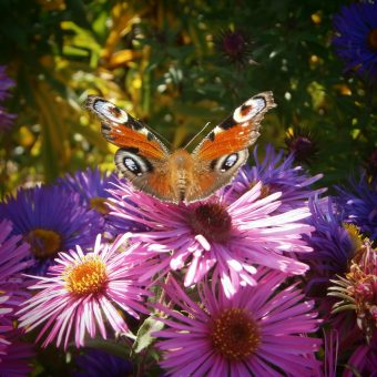 Bunter Schmetterling auf lila Blüte (www.bio-honig.com).