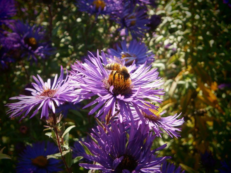 Die Gartenbiene. Honig Fakten von Oswald Honig.