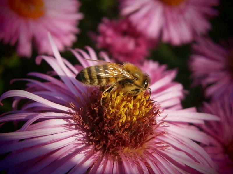 Goldene Biene auf rosa Blüte. Honig Fakten.