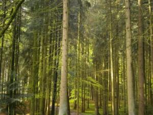 Waldhonig ab Imkerei: Naturnaher Wald in der unmittelbaren Umgebung des Waldbienenstandes der Bienenvölker von Imkerei Oswald, fotografiert im April 2016