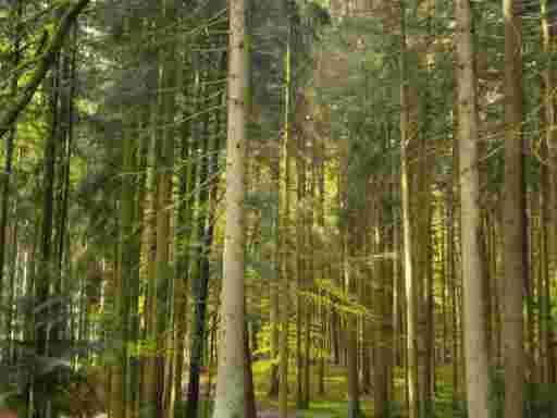 Propolis; Nadelmischwald am Waldbienenstand, in diesem Naturwald sammeln unsere Bienen Knospenharz für die Propolis Tinktur für den Propolis Versand von bio-honig.com H.G.u.R. Oswald GbR.