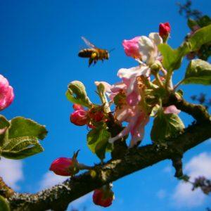 Honigbiene befliegt Apfelblüte: Foto: Imker Oswald.