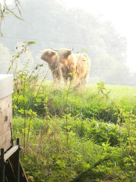 Zwei Rinder schauen Richtung Bienen.