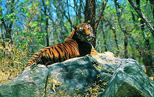 Ein Tiger liegt im Wald auf einem Felsen, der dreht gerade den Kopf und sieht den Betrachter an.