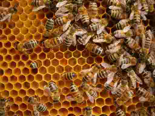 Blütenpollen Bio kaufen: Bienen machen Honig auf einer Wabe.