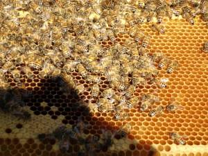 Eine besonders schöne, durchaus nachzuchtwürdige Biene.
