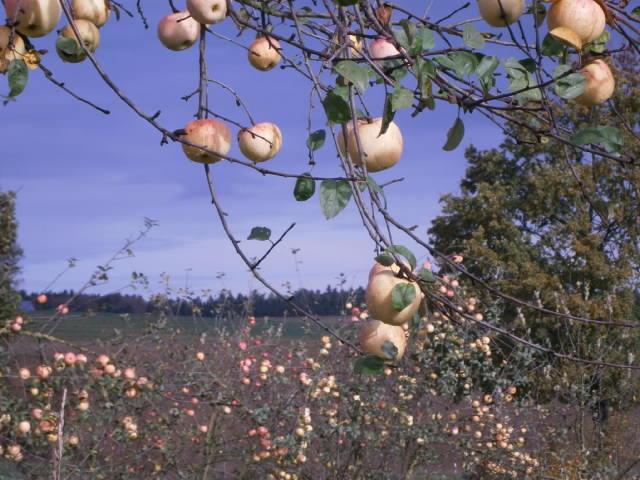 TAGWERK Honig; Reife TAGWERK Bio-Äpfel am Baum in der Herbstsonne.