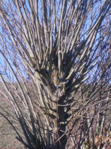 Küblerweide am Arboretum der Imkerei Oswald