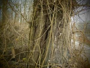 Waldreben (Lianen) sind charakteristisch für dieses Biotop