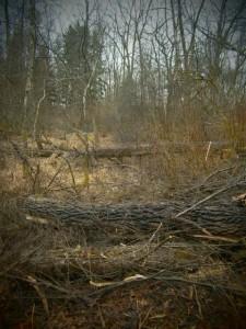 Umgestürzte Silberweiden im Isar-Auwald