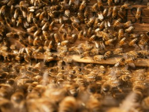 Alles läuft wie ein Uhrwerk, im Superorganismus des Bienenstaates.