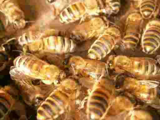 Gestreifte Bienen in lustiger Geselligkeit.