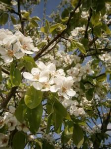Die Blüte der Augustbirne (um 1847, gute deutsche Sommerbirne mit süßem, saftigen Fruchtfleisch, ausgesprochen frosthart), welche von uns 2003 auf dem Bienenhof von bio-honig.com gepflanzt wurde.