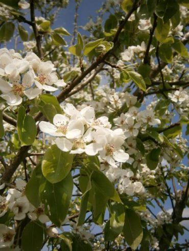 DER BESTE BLÜTENHONIG, Ein wunderschön weiß blühender Birnbaum auf dem Ökohof der Oswald´s www.bio-honig.com.