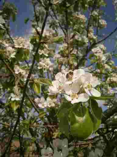 Blütenhonig BIO aus der Region; Eine Birnenblüte mit Honigsammlerin.