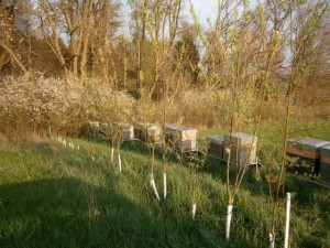 Im Vordergrund blühende, neu gepflanzte Weiden (Salix continua) von Immengärtner Jaesch. Im Hintergrund noch eine blühende Schlehenhecke