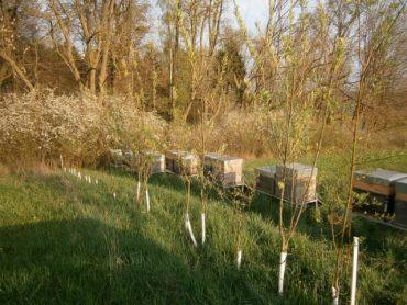HONIG AUS FRÜHTRACHT; Zwölf Bienenstöcke stehen an einem bzw. in einerm Naturschutz Biotop mit Weiden, Schlehenhecke und Naturwald.