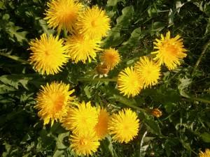 Die Blätter des Löwnzahns liefern einen phänomenalen Wildsalat zur Pasta (anstatt Rucola) oder zu Meerettich