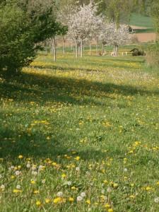 Der Löwenzahn lockt die Bienen in die Streuobstwiese, was auch als Trachtlenkung bezeichnet wird.