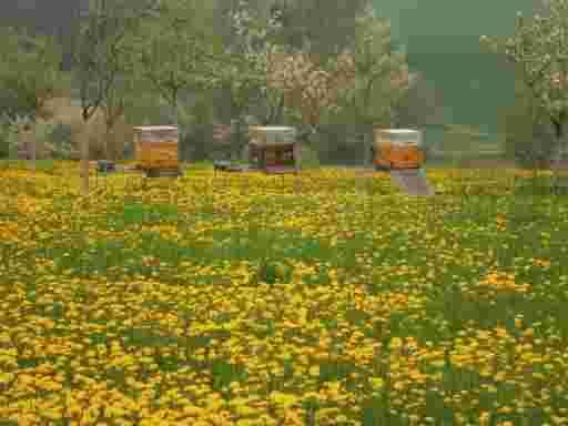 BAYERISCHE BLÜTENPOLLEN KAUFEN; Drei Bienenstöcke mit Honigraum stehen auf einer Streuobswiese in einer Reihe. Es blühen die Renecloden und auch der Löwenzahn. Der mittlere Bienenkasten ist von dunklem Holz, die beiden äußeren von hellerem Holzton.