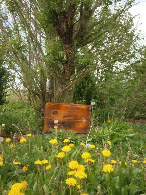 HONIG VOM IMKER Ein Schwarmfangkasten unter einem Bienenschwarm der am Baum hängt.