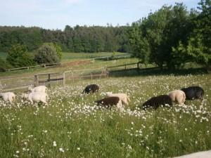 Die frisch geschorenen Schafe entspannen sich auf der Margeritteweide