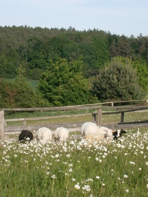 BEIM IMKER KAUFEN Frisch geschorene Schafe auf der Weide in Bayern.