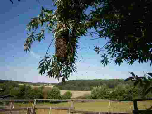 HONIG KALTGESCHLEUDERT Ein Schwarm hängt am Baum.
